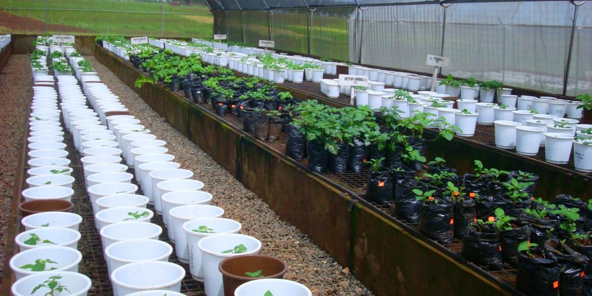 ADC Potato Greenhouse